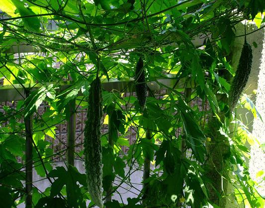 緑のカーテン1.JPG